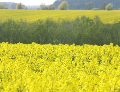 Россельхознадзор: в Латвии отсутствует должный государственный контроль за оборотом ГМО