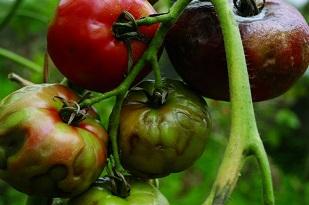В России снова появятся узбекские томаты