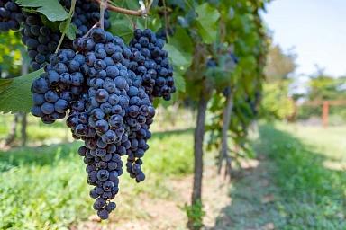 Виноделы заговорили на русском языке