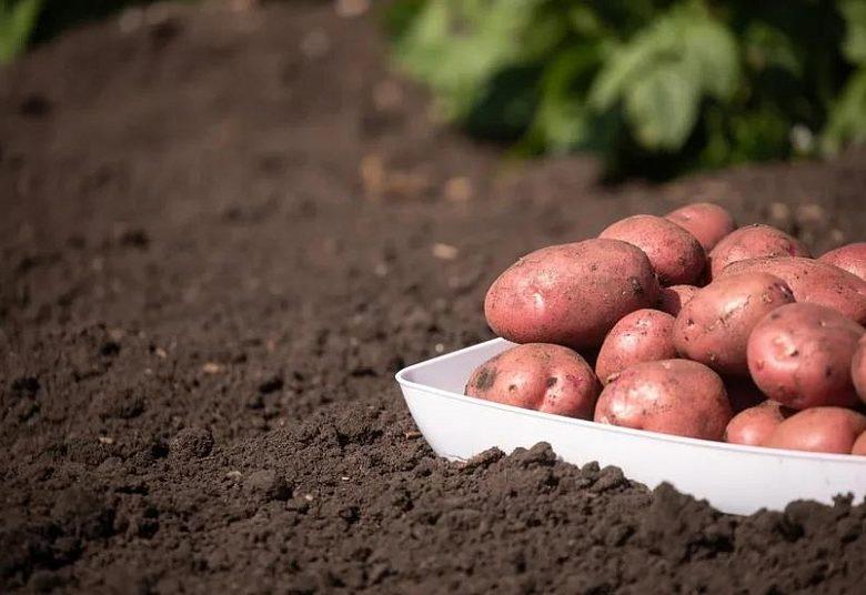 Алексей Красильников: в результате селекции картофеля удастся снизить импортозависимость