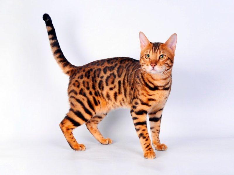 The Guardian: ядовитый корм для кошек может быть причиной таинственной болезни
