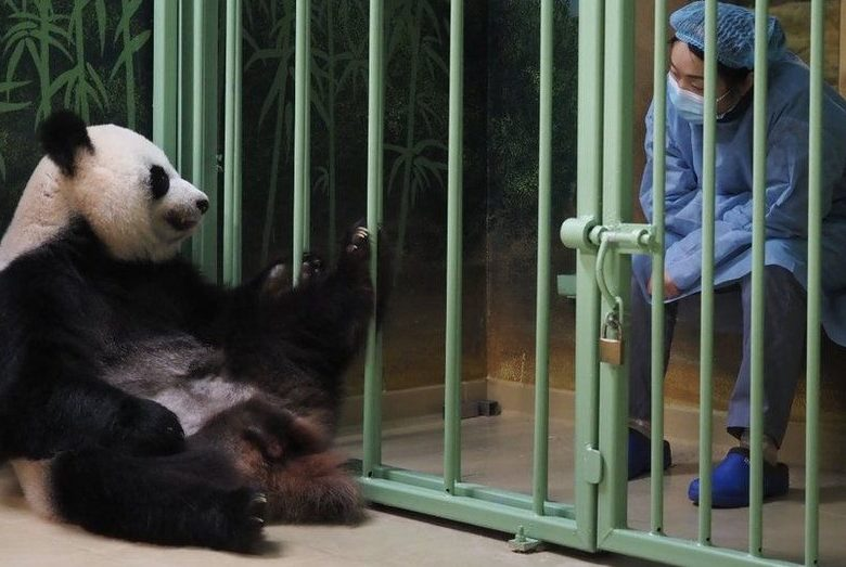 BBC: Во Французском зоопарке панда родила детёнышей-близнецов