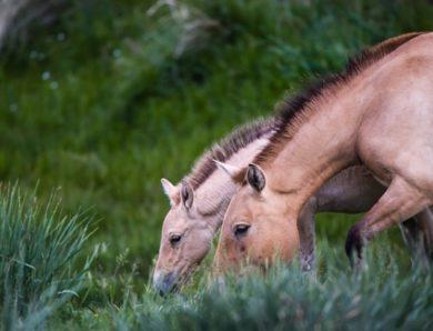 Бизнес поможет восстановить популяцию лошади Пржевальского