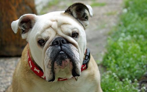 В Британии за выгул собаки на шлейке можно заплатить 5000 фунтов