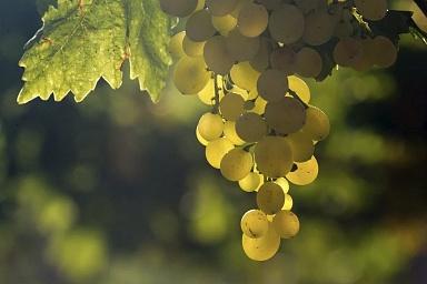 Виноградарство в России поспособствует улучшению качества жизни на сельских территориях